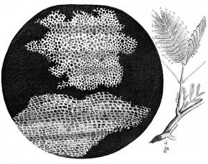Células_en_Micrographia_de_Robert_Hooke