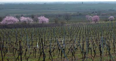 Mandelbäume in den Deidesheimer Weinbergen