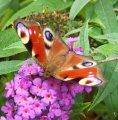 Schmetterling im Garten des Klosters Eberbach in der Nähe von Wiesbaden