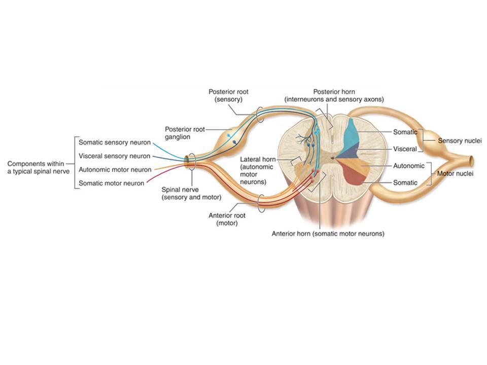 Dietrich Starck und) das Kopfproblem (II) » Anatomisches Allerlei ...