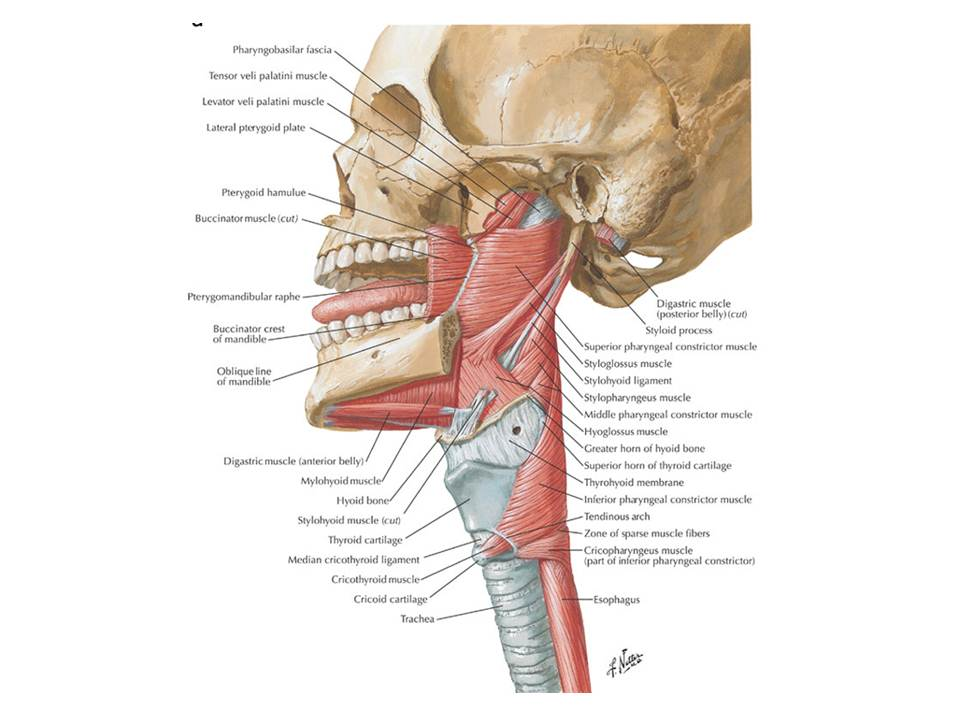 Erfreut Hals Knochen Anatomie Zeitgenössisch - Menschliche Anatomie ...
