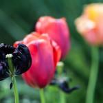Vier Tulpen in drei Farben: Gleiche Art in Variationen.