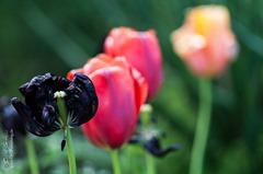 Vier Tulpen derselben Art in drei unterschiedlichen Farben.