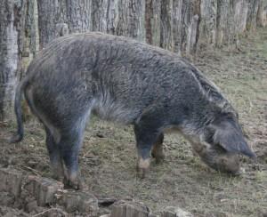 Das in Lauresham gehaltene Düppeler Weideschwein ist eine Rückzüchtung, die dem mittelalterlichen Schwein ähnelt, ohne ihm genetisch zu entsprechen.