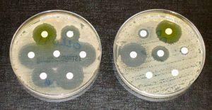 Zwei Agarplatten mit Bakterienkulturen. Aus den weißen Scheiben fließen jeweils verschiedene Antibiotika auf das Nährmedium. Die Bakterienkultur links reagiert auf alle getesteten Antibiotika empfindlich, während die rechts nur empfindlich gegenüber drei der sieben getesteten Antibiotika ist.