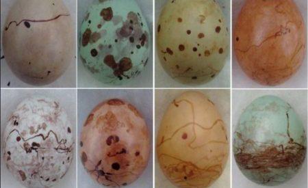 Warum Farben Vogel Ihre Eier Die Sankore Schriften Scilogs