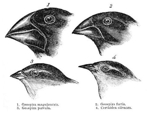 Die Gene ALX1 und HMGA2 bestimmen Schnabelform- und größe in Darwinfinken » Die Sankore Schriften » SciLogs - Wissenschaftsblogs