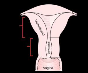 Die menschliche Gebärmutter