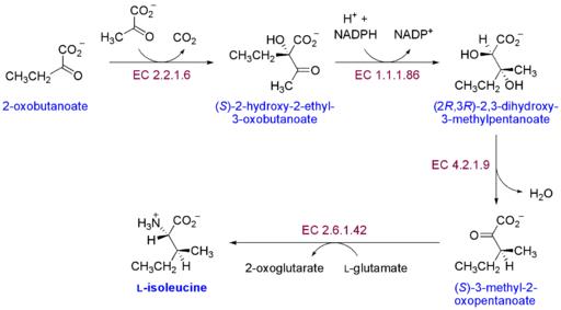 Der Stoffwechselweg für die Biosynthese der Aminosäure Isoleucin.