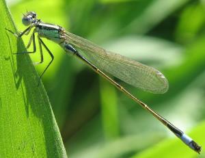 Ein Männchen der Großen Pechlibelle (Ischnura elegans). Sie gehört zu den Kleinlibellen (Zygoptera).
