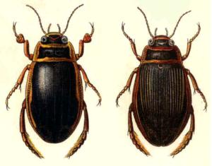 Abb.1: Der Gelbbrandkäfer (Dytiscus marginalis) Links das Männchen, rechts das Weibchen