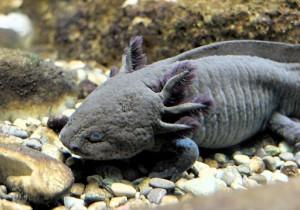 Abb.3: Querzahnmolch Axolotl (Ambystoma mexicanum)