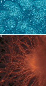 (A) Humane embryonale Stammzellen; (B) Nervenzellen, die aus humanen embryonalen Stammzellen hergestellt wurden