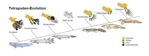 Abb.1: Evolution der Gließmaßen von den Fischen zu den Amphibien Bei diesem Übergang von Fischen zu Vierbeinern müssen tief greifende Veränderungen erfolgt sein, die u. a. das Tragen des Körpers (die Kräfteverhältnisse sind auf dem Land ganz anders als im Wasser) und die Fortbewegungsweise (Extremitäten mit neuer Funktion: die Fortbewegung steht statt der Steuerung im Vordergrund) betreffen.