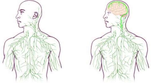 Immunsystem, Gehirn und Kopfschmerzen » Graue Substanz » SciLogs ...