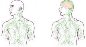 Links: traditionelles Lymphsystem; rechts: aktualisiert das Gehirn-Immunsystem (Gefäße sind auch im Gehirn).