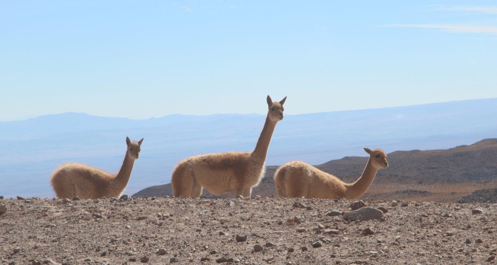Fauna unterwegs: Vicuñas. Bild: Georg Görgen