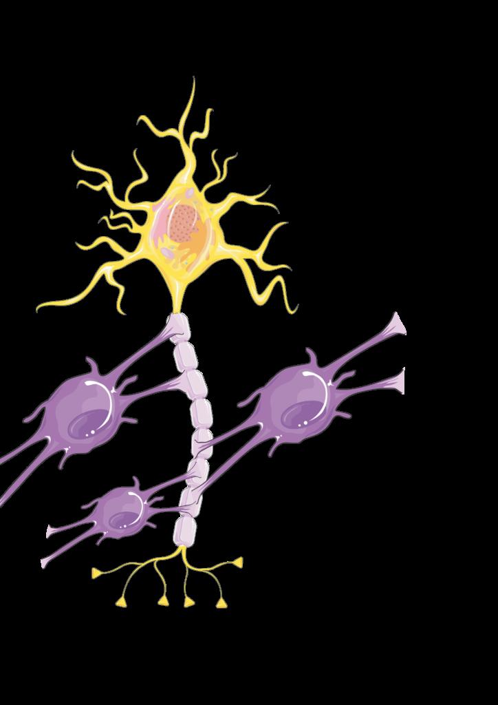 Physiologie der Oligodendrozyten und Neuronen