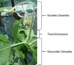 Eine junge Apfelpflanze der Sorte Boskoop fünf Tage nach der Infektion mit dem Feuerbrandbakterium Erwinia amylovora. In der Transitionszone zwischen gesundem und krankem Gewebe bildet die Pflanze spezielle Abwehrstoffe zur Bekämpfung der Krankheit: Biphenyle und Dibenzofurane.