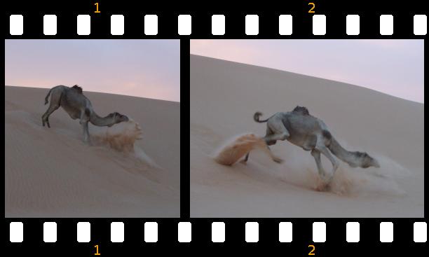 Dromedar auf einer Düne. Sahara 2008 (Foto: Fam. Dolata)