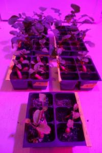 Radieschen im Licht des Biologielabors. Man sieht deutlich, welchen Wachstumsunterschied die verschiedenen Böden ausmachen. Geschmeckt haben die Radieschen aber alle gleich gut.