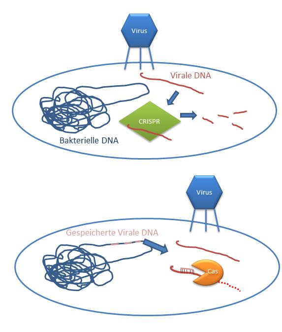 Virale DNA und Bakterien