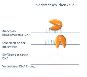 CRISPR/Cas in der menschlichen Zelle.