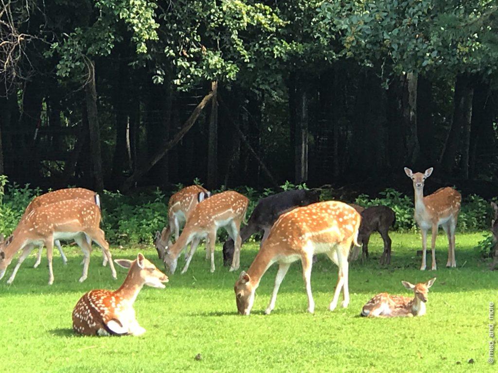 """Damwildgehege mit vielen """"Bambis"""". Charakteristisch ist ihr geflecktes Sommerfellsowie das Schaufelgeweih der männlichen Tiere. Die tagaktiven Damhirsche (Dama dama) lieben offene Landschaften, in denen sich Wälder mit Feldern abwechseln."""