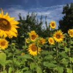 Sonnenblumenfeld. Die Sonnenblume (Helianthus annuus) ist eine echte Sonnenanbeterin aus der Familie der Korbblütler (Asteraceae). Zu Nutzzwecken sollte sie auf humus- und nährstoffreichen Böden angebaut werden. Die Samen sind reich an ungesättigten Fettsäuren, Vitaminen und Eiweiß und somit ein ausgezeichneter Snack.