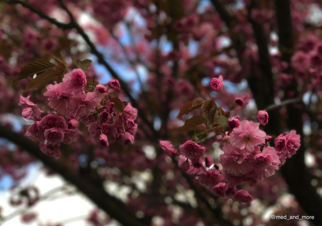 Las flores de cerezo japonés son muy sensibles. El clima frío en esta época del año en la capital alemana puede dañar los pétalos tiernos.
