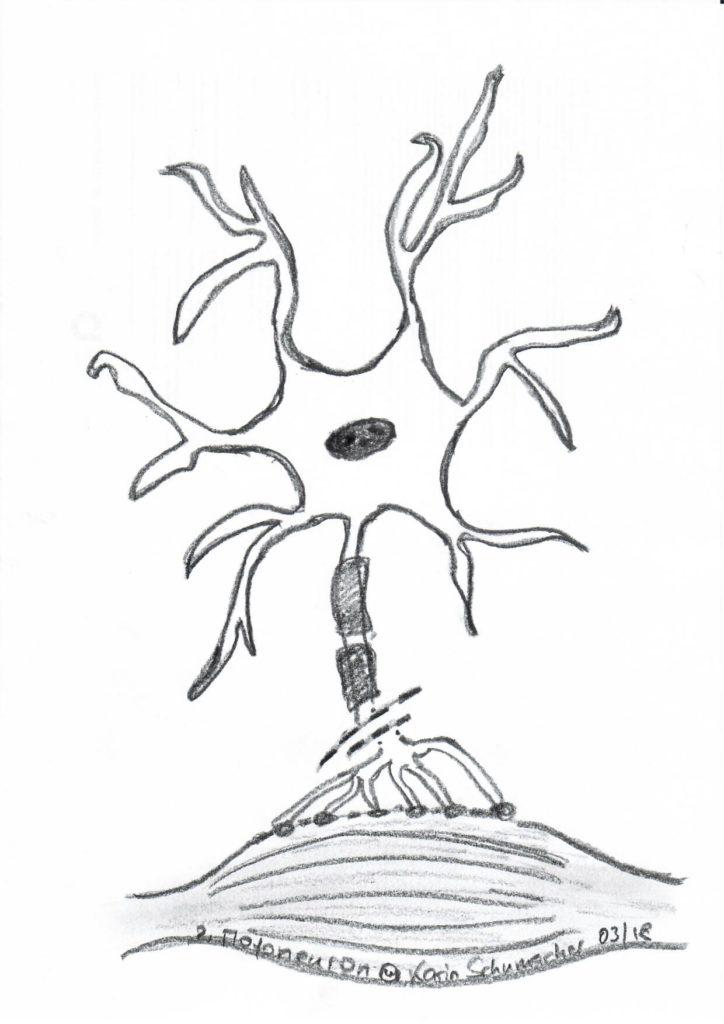 Zweites Motoneuron im Rückenmark. Es steht in Kontakt mit dem ersten Motoneuron, welches vom Gehirn bis ins Rückenmark reicht. Seine langen Nervenfortsätze (Axone) sind mit den Muskelzellen verbunden.