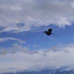 Schweizer Alpendohle in Aktion