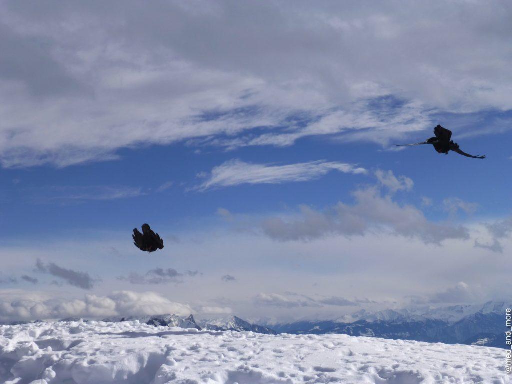 Schweizer Alpendohlen in Aktion