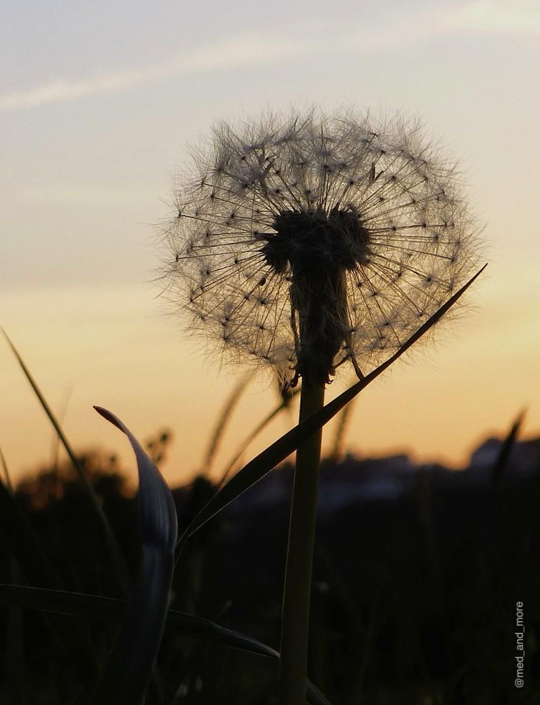 Abend-Pusteblume