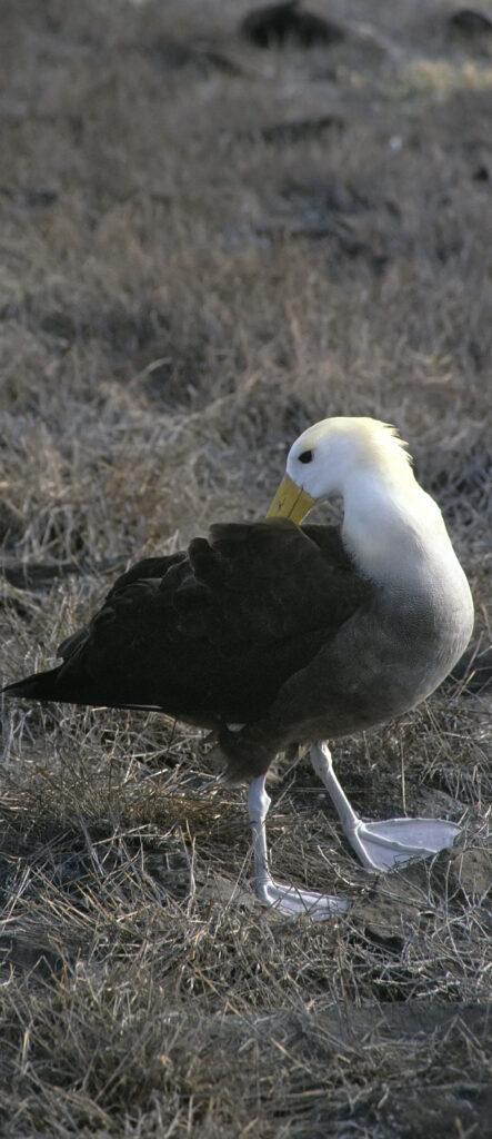 Galapagos-Albatros sortiert seine Federn auf dem Weg zum Wasser