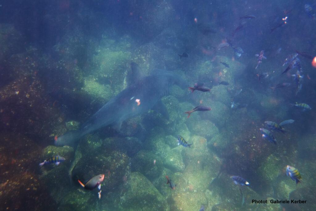 Foto eines Bogenstirn-Hammerhais