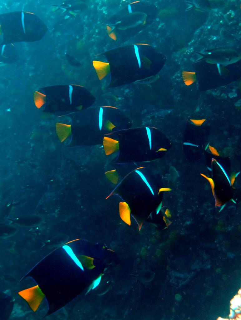 Gruppe Engelfische vor einer Steilwand