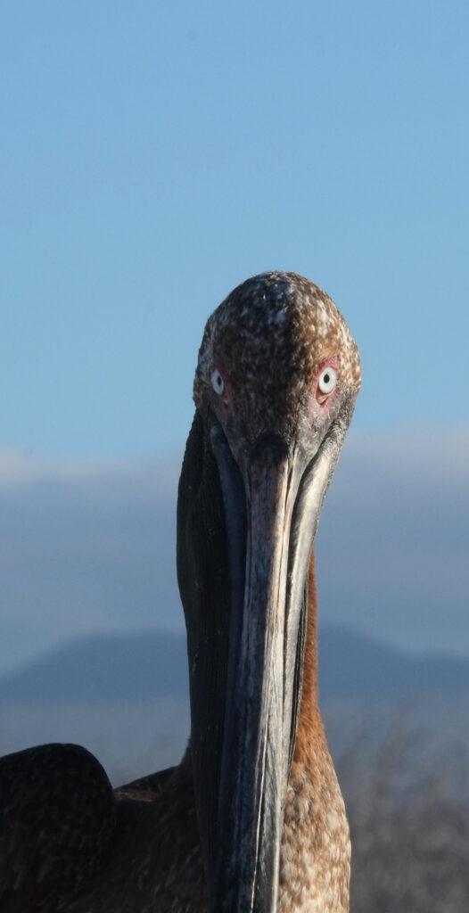 Nahaufnahme eines Galapagos-Braunpelikans