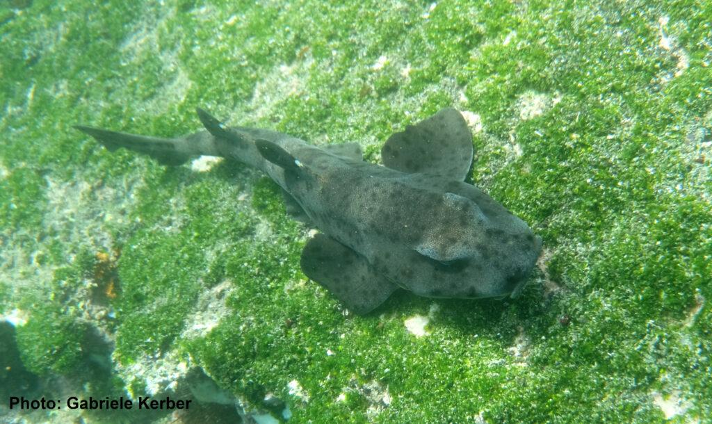 Photo eines Galapagos-Stierkopfhais