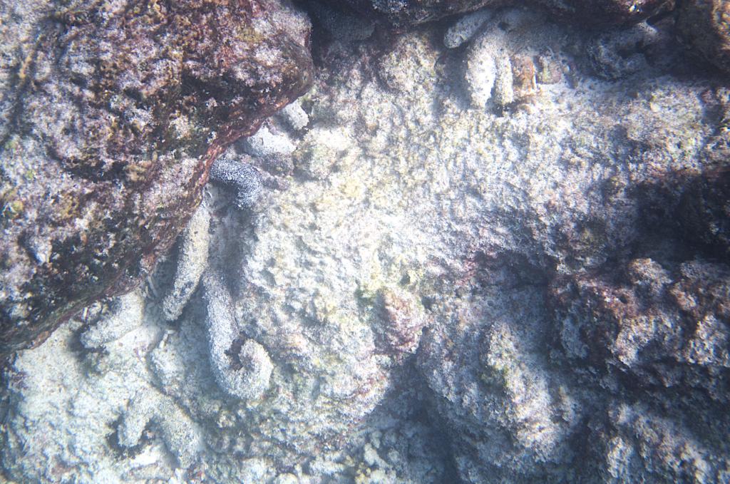 Zehn mit Sand bedeckte, gut getarnte Seegurken der Art Holothuria atra halb unter Steinen.