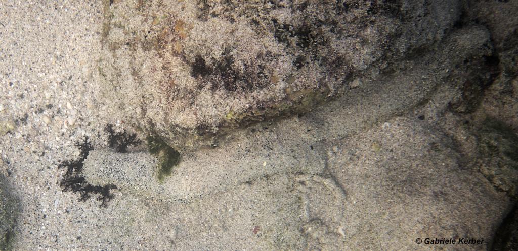 Eine Scharze Seegurke auf Nahrungssuche mit ausgestreckten Mundtentakeln
