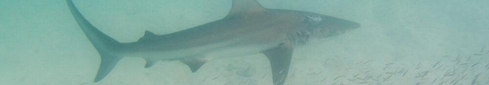 Photo eines Kleinen Schwarzspitzenhais