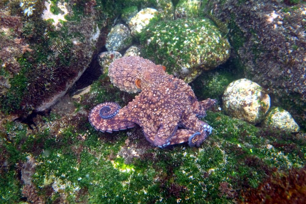 Octopus oculifer auf Futtersuche vor Isabela, Galapagos