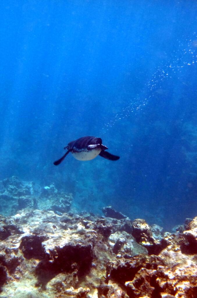 Galapagos-Pinguin taucht gemütlich ab