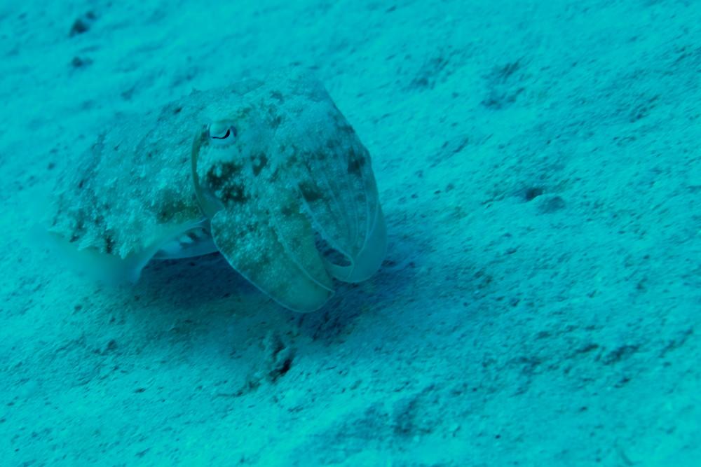 Sepia im Roten Meer