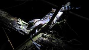 gecko nachts