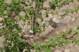 Am Mount Graham gibt es jede Menge Kolibris, die man im Flug kaum sieht, so schnell und klein sind sie.