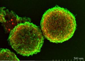 Der entwickelte sehr stabile Pt@HGS Brennstoffzellenkatalysator: rote Platin-Nanopartikel in porösen Kohlenstoffhohlkugeln (hollow graphitic spheres = HGS) in grüner Farbe. (Quelle: MPIE & MPI-KOFO)
