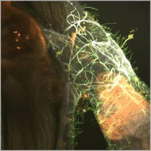 Moostierchen (braun) mit Blaualgen im Magen (rot), Bakterien (grün) und Pilzhyphen (weiss) auf der Haut