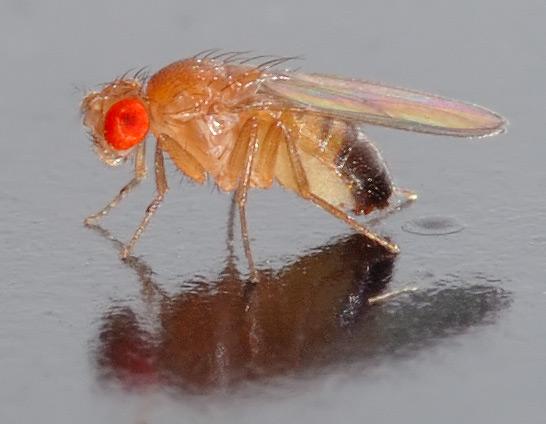 Fruchtfliege Drosophila melanogaster